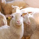Tolvilan tilalla asuu tyytyväisiä lampaita