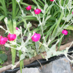 Kukkaistutukset kärsineet ilkivallasta ja kuivuudesta