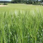 Laukon maita on myynnissä – 109 hehtaaria peltoa myydään tarjousten perusteella
