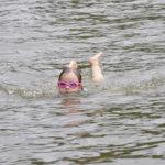 Ida Joly harjoittelee rintauintia reippaasti viileästä vedestä huolimatta.