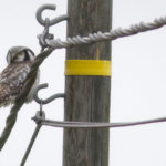 Hiiripöllöt vaeltavat myyrien perässä Pirkanmaalle