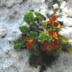 Talvinen kevätesikko