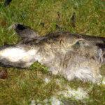 Pihalta löytyi peuran pää