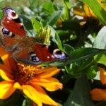 Perhonen kukassa Kuva: Mirva Kujala