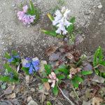 Hyasinttikin kukkii keväällä