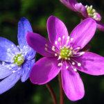 Vuokot kukkivat monissa väreissä