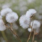 Elokuun lumipallot Kuva: Pirjo Hasari