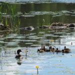 Vesilahdella, Hauenparmanlahdella kohtasivat etualalla Tavipoikue, vasemmalla pesässä Silkkiuikkuperhe. Oikealla pesä lokilla.  Kuva:  Pekka Pohjola