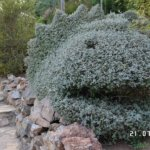 Pensas Inca de Molina puutarhassa Torremolinoksessa. Kuva: Mika Nummela.
