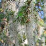 Tiedätkö missä sijaitsee tavattoman pitkä tai paksu kataja? Luonnonsuojeluliitto etsii Pirkanmaan jättikatajia