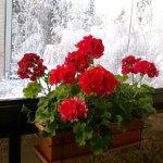Pelargoniat täydessä kukassa