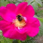 Kesän ensimmäinen Valamon ruusun kukka tarjosi mehiläiselle makeaa työtä.Pidetäänhän huolta maapallon tärkeimmän hyönteisen elinpiiristä. Kuva: Riitta Juutilainen i
