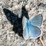Kangassiipiperhonen.. Kuvan on otettu 12.6.2016 Lempäälän-Vesilahden maantien laidasta, Näppilän sillan viereltä. Kuva: Ari Tapaninen
