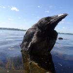Tampereen Reuharissa variksen poikanen lähti lentämään järvelle päin, tipahti veteen ja ui rantaan.  Kuva: Pauli Hietanen