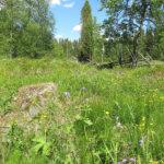 Niinimäen keto on valtakunnallisesti arvokas perinnemaisema ja kuuluu Natura 2000 alueisiin. Alueelta on tavattu useita uhanalaisia kasveja, ja siellä  järjestetään vuosittain niittotalkoot.   Kuva: Arto Hämäläinen