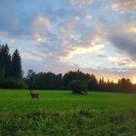 Peura ja laskeva aurinko! Kuva: Mirva Kujala