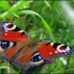 Jos ajatellaan kesää 2016 perhoskesänä, niin ainakin omasta mielestäni se jää lajivalikoiman osalta heikoksi, tarjontaa on ollut yllättävän vähän. Voi tietenkin olla paikkakuntakohtainen asiakin. Neitoperhonen on kuitenkin ollut se, jota on liidellyt runsaasti maisemassa, kukapa nyt neitoperhoa ei voisi olla huomaamatta. Kuva: Kari Saarinen