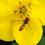 Kukkakärpänen työssään. Kuva: Ari Tapaninen
