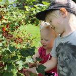 Lapsenlapset syömässä marjoja puskista - samoin kuin itsekin lapsena. Kuva: Pirjo Hasari