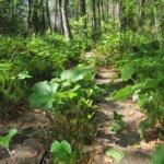 Polku Pahalammille kulkee lännen suunnalta rämemäisen metsän läpi. Luonto on sulauttamassa lahonneet pitkospuut märkään maaperään. Kuva: Arto Hämäläinen