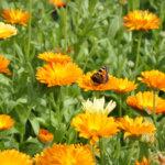 Kaikkea kukkivaa, vehreää ja tuoksuvaa! – Avoimiin puutarhoihin pääsee tutustumaan Lempäälässä sunnuntaina