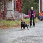 Hulda-rottweiler oli aiemmin kiinnostunut karhun hajuista  mökkimaastossa, mutta yt kun hajun päässä oleva peto on tullut tutuksi lienee kiinnostus laantunut. Kuva: Katariina Onnela
