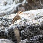 Muuttava hiirihaukka havaittu jo Lempäälässä