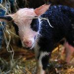 Voiko söpömpää lammasta olla?