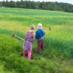 Lapset heinätöissä - no ei, mutta pellonreunalla rehottava korte on kuin enon rypsiä, jota kärrätään kotipihan leikkikuivuriin puun oksalle. Kuva: Minna Heikkilä