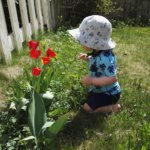 1-vuotias Mikael ihastelee kotipihan tulppaaneja- Kuva: Hanna Patokallio