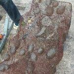 Yli 30 sammaleläintä tarttui katiskaan Kirkkojärvellä