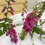 Talvi yllätti puutarhan