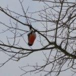 Punatulkku puussa pää alaspäin
