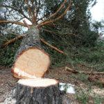 Itsenäisyyden muistopuu kaadettiin turvallisuussyistä