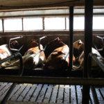 Tilalla on reilut 30 lypsävää lehmää. Kuva: Katariina Rannaste
