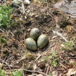Kuivaset: Kulkija saa olla varuillaan, ettei astu vahingossa lokin munan päälle. Kuva: Ereki Koivisto
