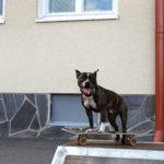 Rambo-koirakin tykkää skeittauksesta. Kuva: Senja Kääriäinen