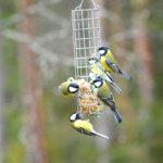Lintulaudan vieraat – aloitettua lintujen talviruokintaa tärkeää jatkaa