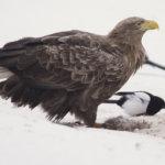 Säijänselällä seurattiin merkikotkia – reviireillään linnut ovat jo pesänrakennuspuuhissa