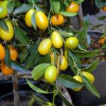 Sitruspuut menestyvät Suomessakin, kunhan ne ottaa talveksi sisälle. Kuva: Vivikka Monto