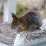 Oravainen makaa makeasti villahuoneessaan