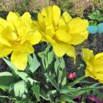 Narsissit kuuluvat alkukesän kukkaloistoon