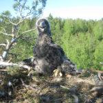 Merikotkien hyvät ja huonot uutiset: Lempäälän ja Vesilahden merikotkilla onnistuneet pesinnät, Vesilahden merikotka kuoli lyijymyrkytykseen