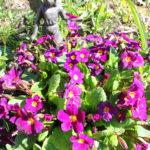 Esikot tuovat väriä kevätpuutarhaan. Kuva: Katariina Rannaste
