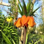 Luonnollinen myyrän karkottaja ; myyrälilja kukkii