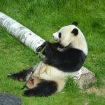 Lionsklubi vei vammaispalveluväkeä kesäretkelle Ähtäriin – suloisia pandoja kävi katsomassa 93 henkeä