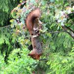 Oravan jälkiruoka