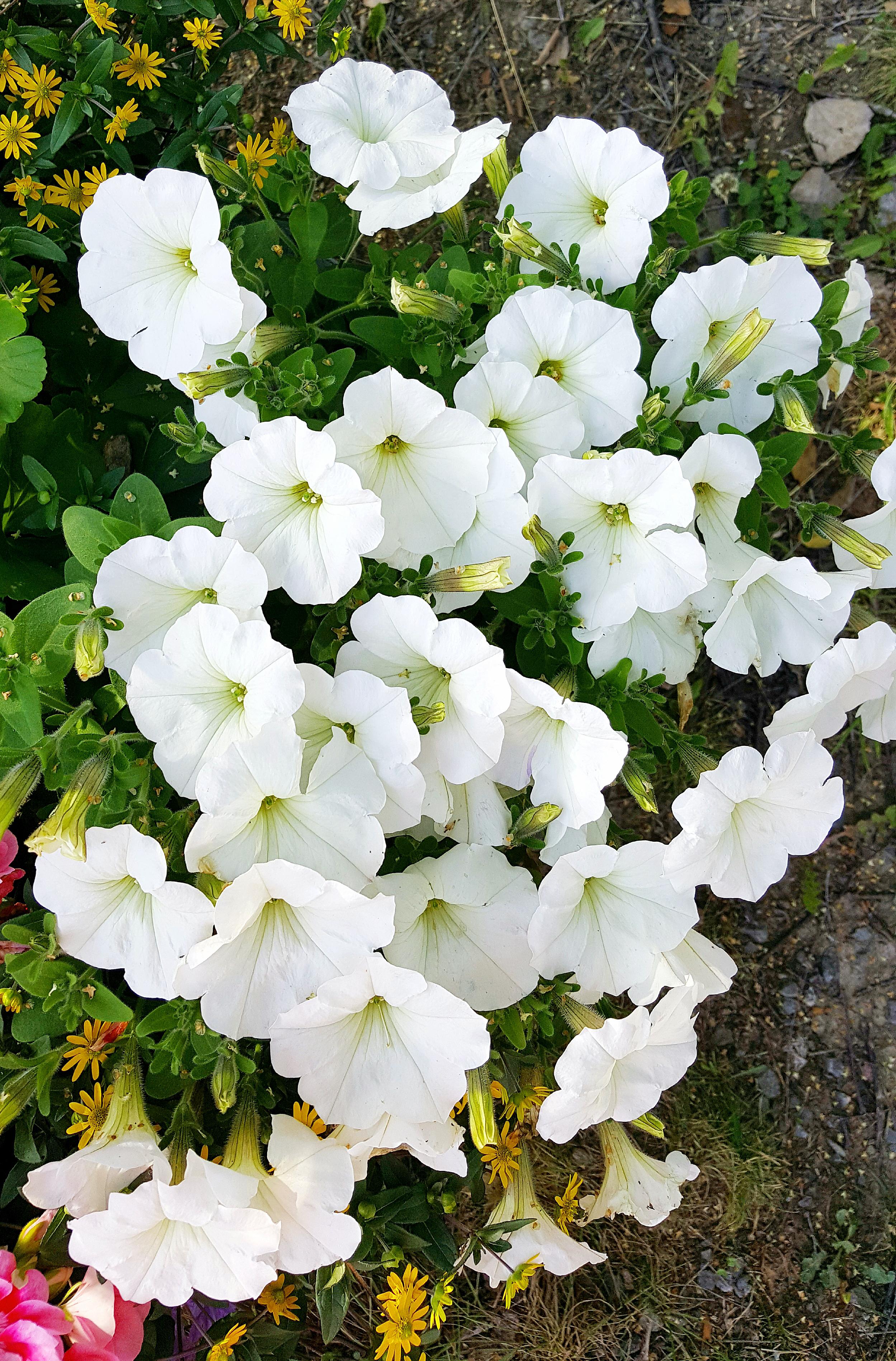 Valkea kukkahehku. Kuva: Maire Simonen
