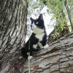 Miten ulkoiluttaa kissaa hihnassa?