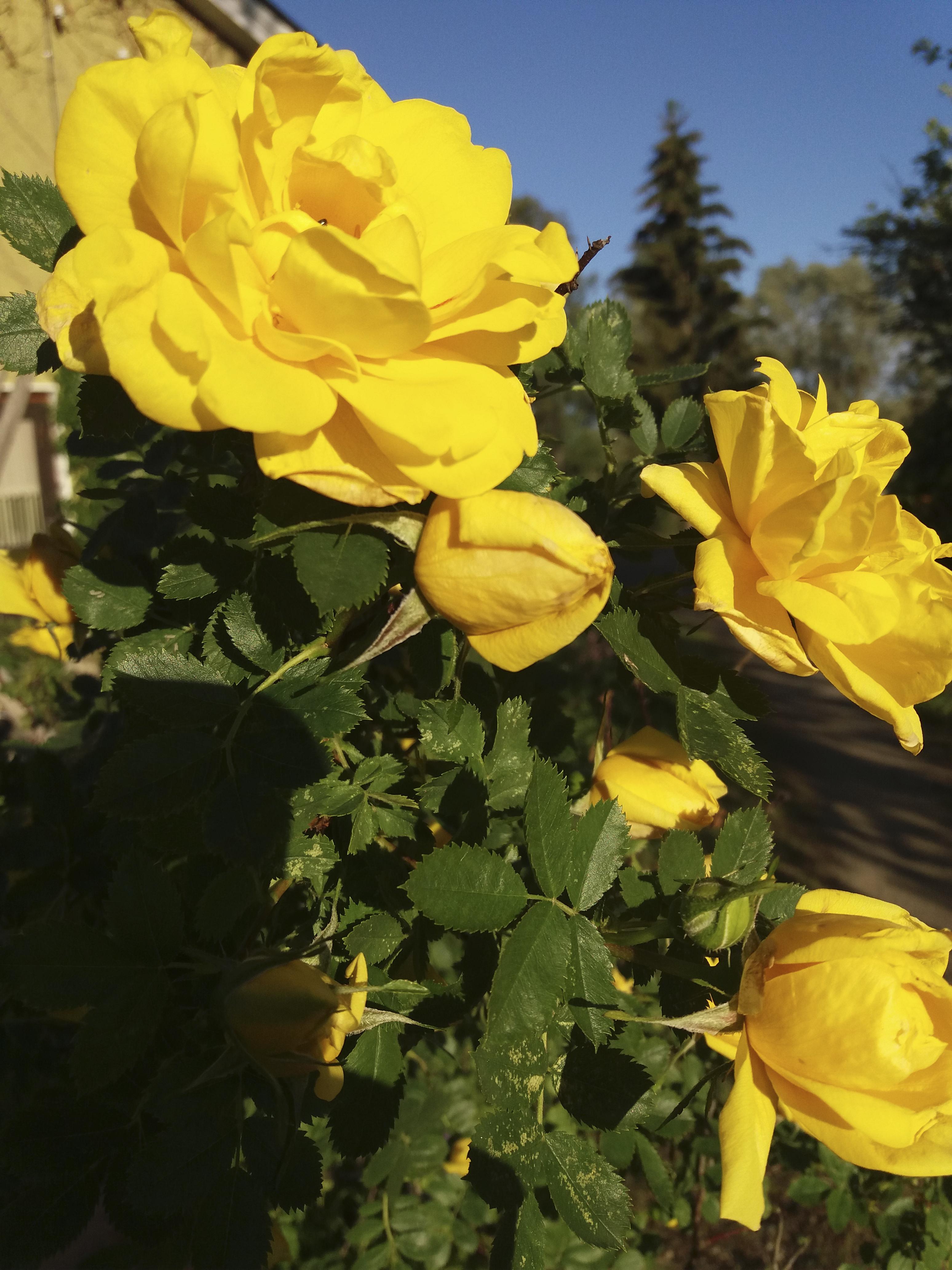 Auringonkeltainen ruusu. Kuva: Hanna Törmä